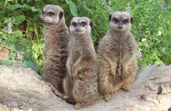 Suricate au Zoo des Sables