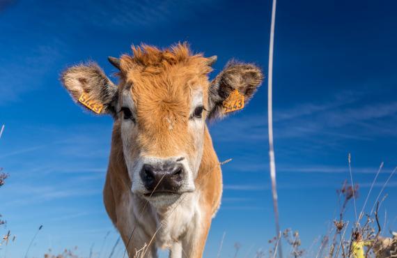 Vache maraichine en Vendée