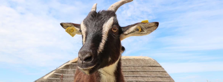 Chèvre au Daviaud à La Barre de Monts